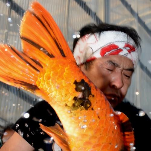 Shinoda – Arrival of Jumbo Hi Utsuri – Oct. 2015