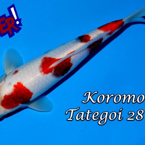 Koromo Tategoi