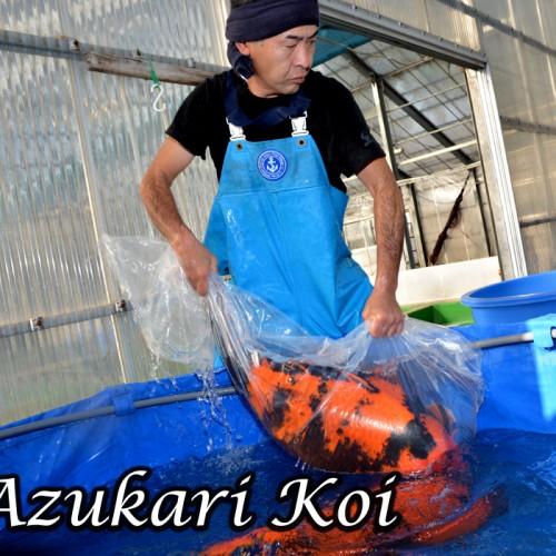 Azukari Koi von Shinoda