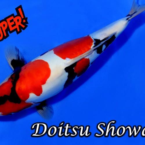 Doitsu Showa vom Züchter Hiroi