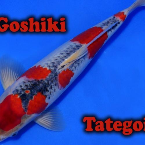 Goshiki Tategoi