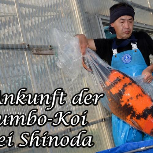 Ankunft der Jumbo-Koi bei Shinoda