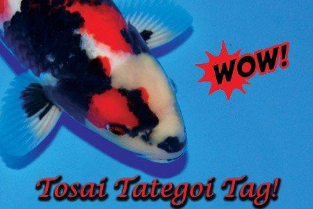Jetzt neue Tosai-Tategoi erhältlich!