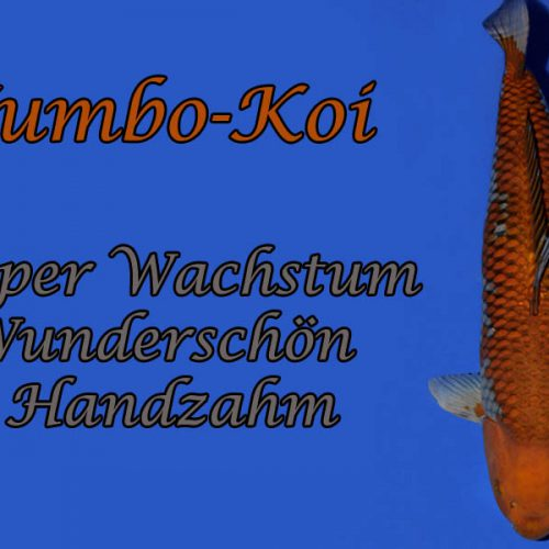 Jumbo Koi