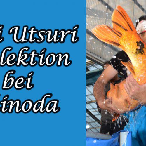 Hi Utsuri Selektion bei Shinoda