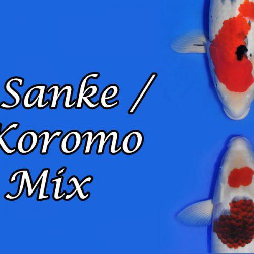 Sanke/Koromo-Mix