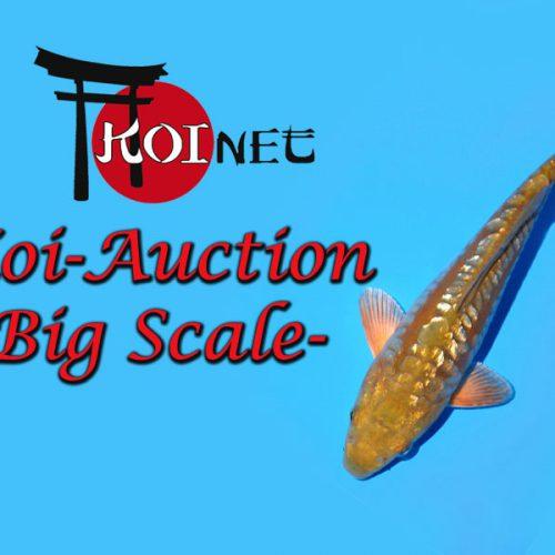 Rückblick- Koi Auction mit Special Big Scale Kawari