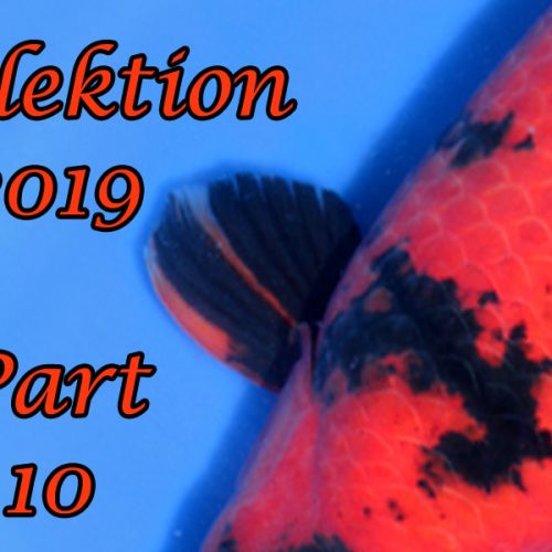 Japan-Koi-Selektion 2019 – Part 10