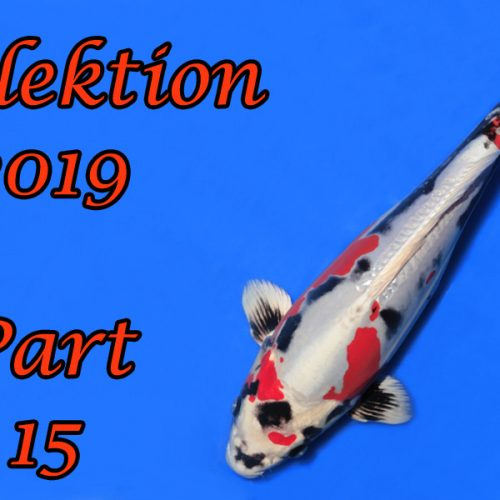 Japan-Koi-Selektion 2019 – Part 15