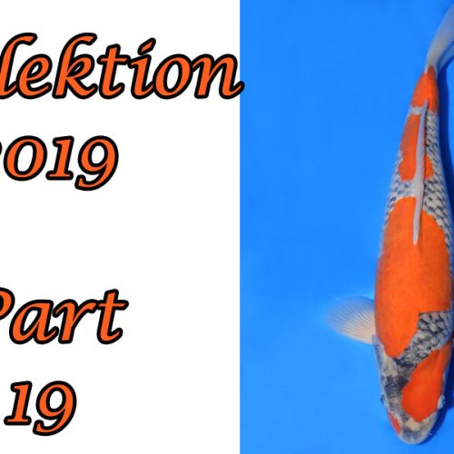 Japan-Koi-Selektion 2019 – Part 19