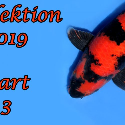 Japan-Koi-Selektion 2019 – Part 3