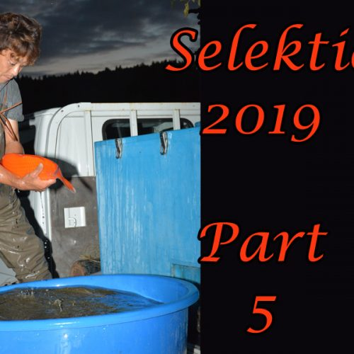 Japan-Koi-Selektion 2019 – Part 5