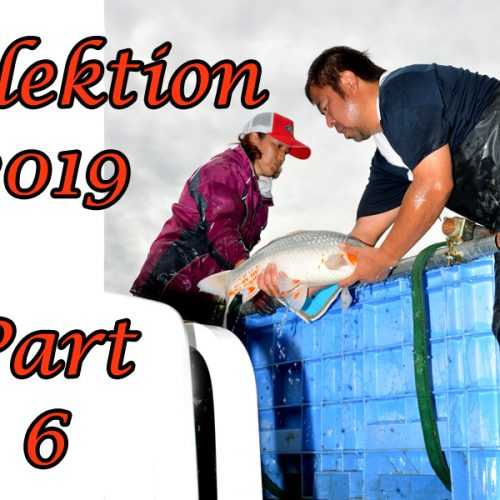 Japan-Koi-Selektion 2019 – Part 6