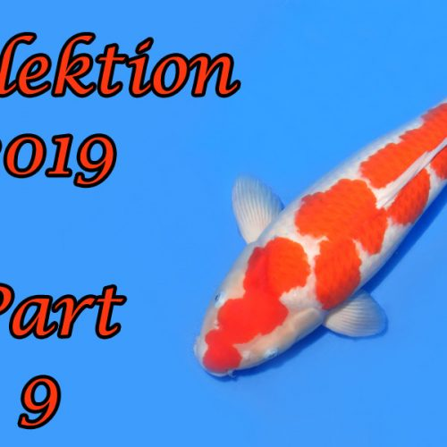 Japan-Koi-Selektion 2019 – Part 9