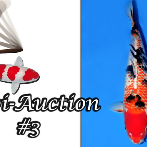 Koi-Auction #3 / Kanoko Sanke…