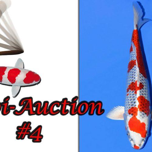 Koi-Auction #4 / Shiro Utsuri…