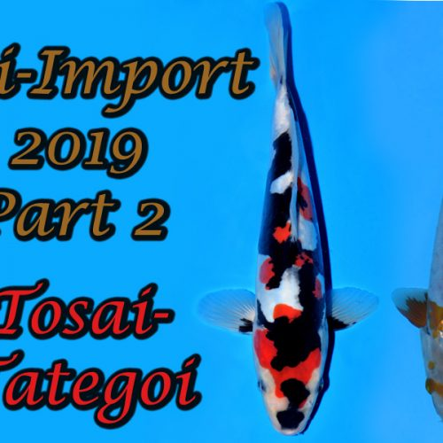 Tosai Tategoi Koi-Import 2019 Part 2