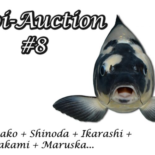 Koi-Auction #8