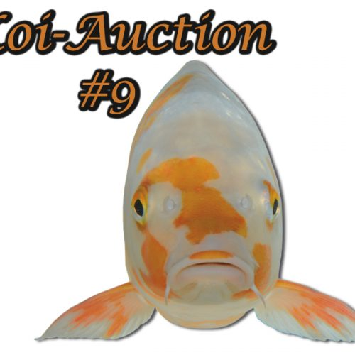 Koi-Auction #9