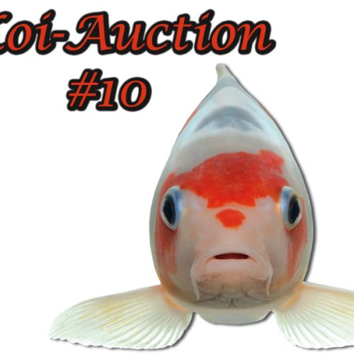 Koi-Auction  #10