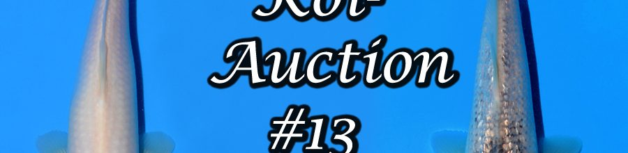 Koi-Auction #13