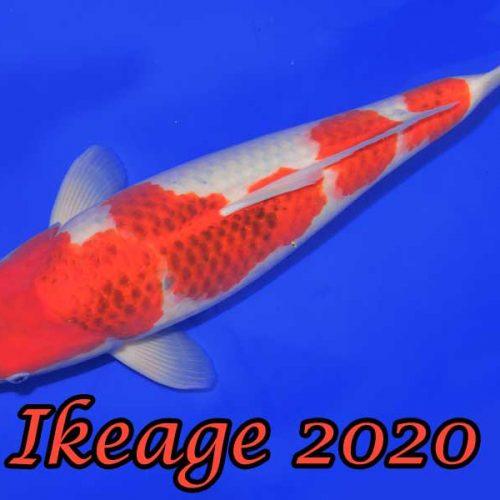Ikeage 2020 #4