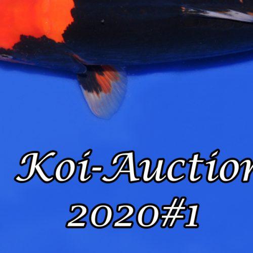 Koi-Auction 2020#1