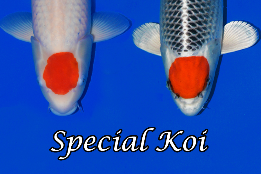 Special_koi_neu