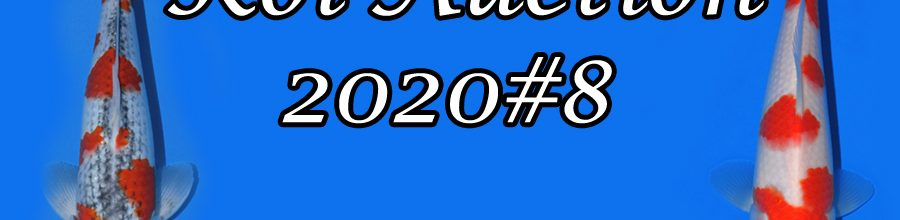 Koi-Auction 2020 #8