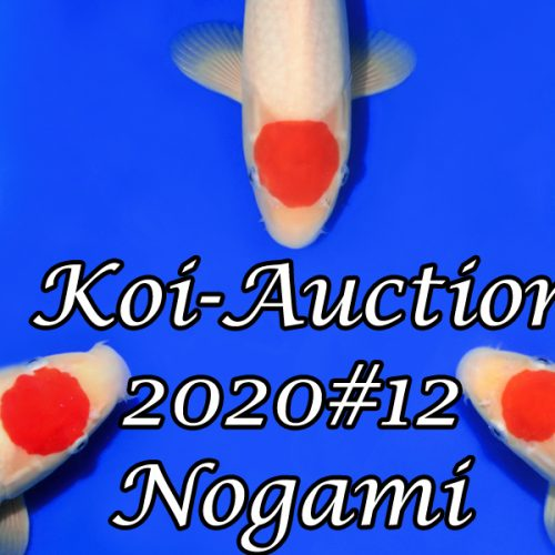 Koi-Auction 2020 #12 – Nogami