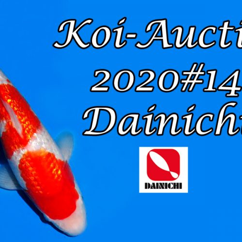 Koi-Auction 2020 #14 / Dainichi