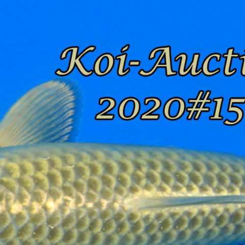 Koi-Auction 2020 #15