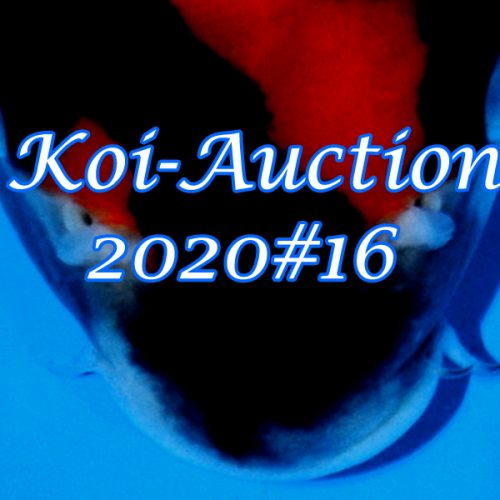 Koi-Auction 2020 #16