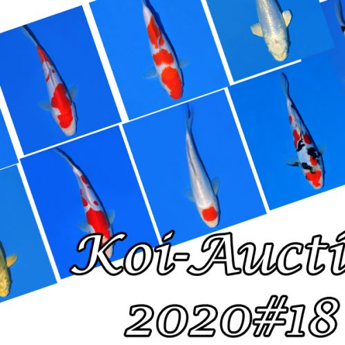 Koi-Auction #18