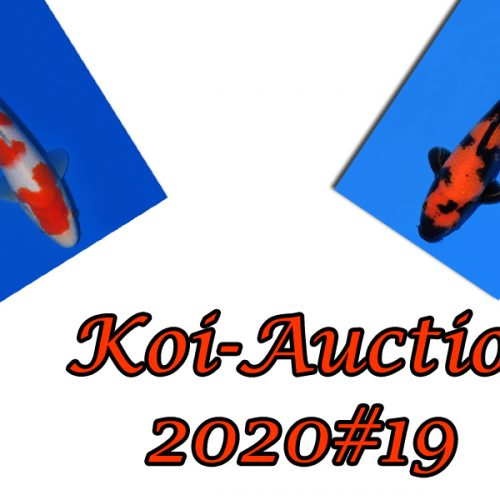 Koi-Auction 2020 #19