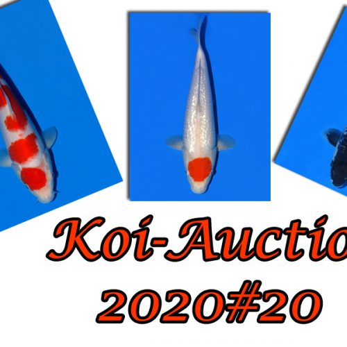 Koi-Auction 2020 #20