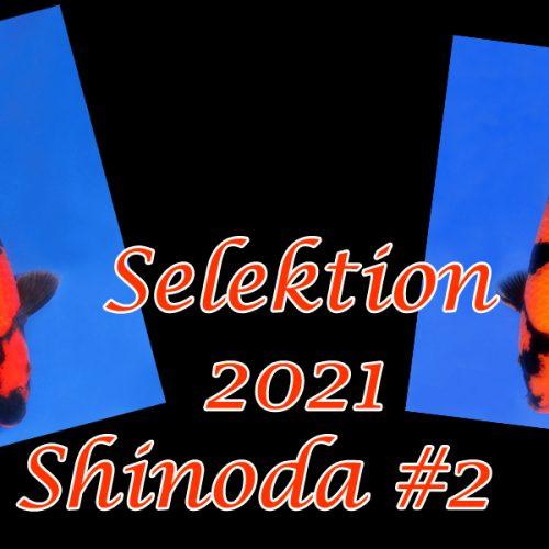 Koi-Selektion 2021 #3