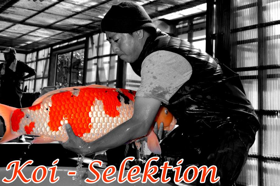 Koi_Selektion