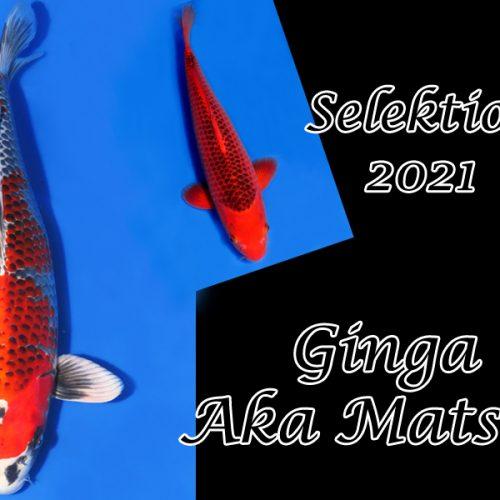 Koi-Selektion 2021 #6