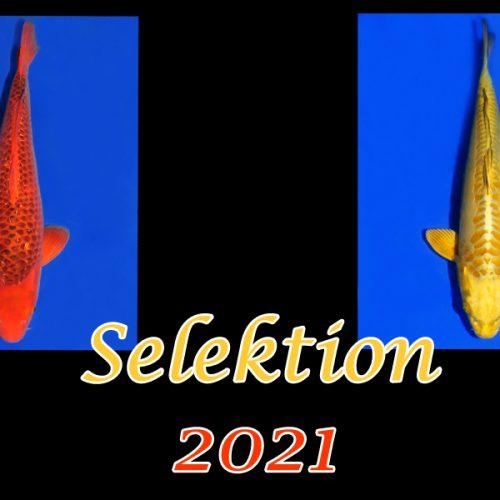 Koi-Selektion 2021 #13
