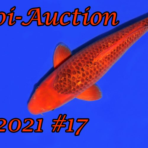 Koi-Auction #17
