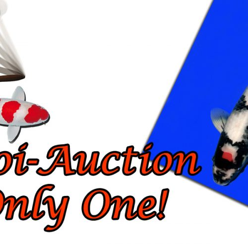 "Koi-Auction ""Only one"""