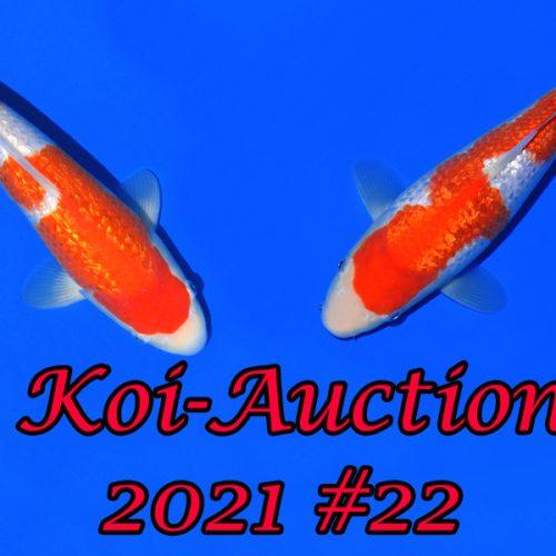Koi Auction #22   Dainichi & Co